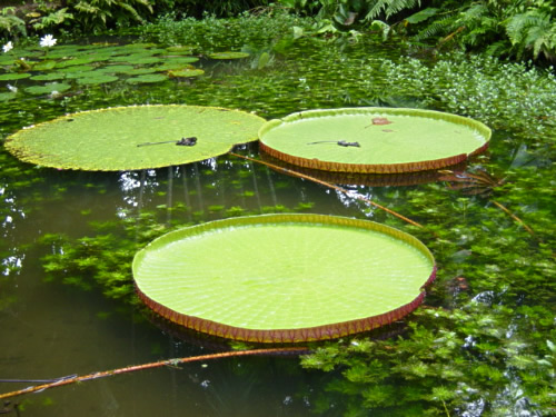 Amazon water lily pads (padma/pema)
